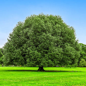 Nuttall Oak Shade Tree Starter Pack