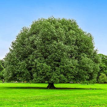 Nuttall Oak Shade Tree