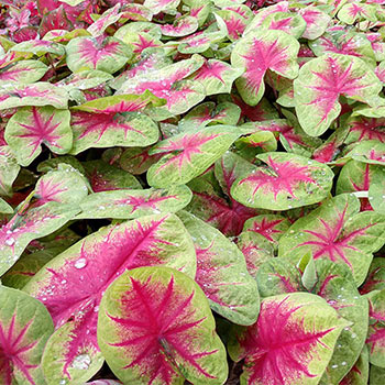 Lemon Blush Caladium