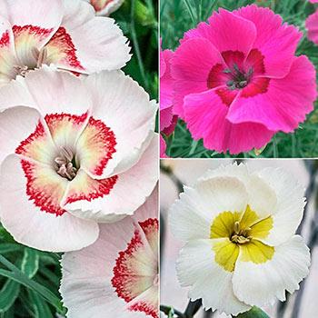 American Pie<sup>™</sup> Dianthus Trio