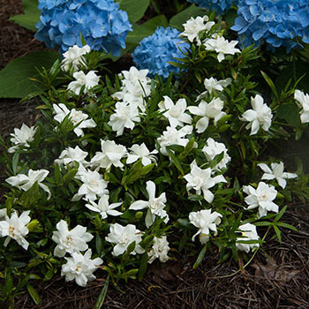 Fragrant Pathways Gardenia