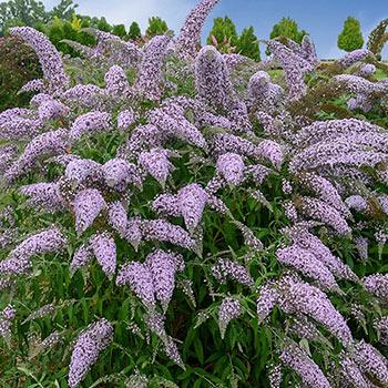 Grand Cascade Butterfly Bush