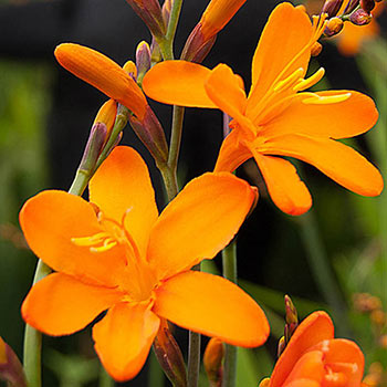 Gold Rush Crocosmia