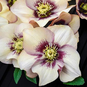 Sandy Shores Lenten Rose