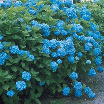 Blueberry Parfait Hydrangea