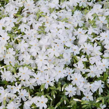White Carpet Phlox