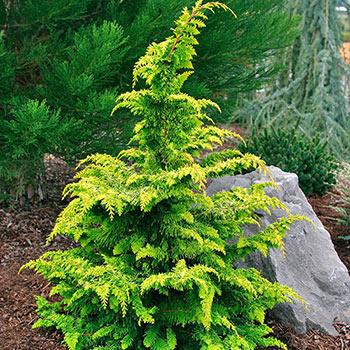 Fernspray Gold Hinoki Cypress