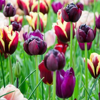 Royal Burgundy Tulip Blend