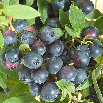 Northsky Blueberry
