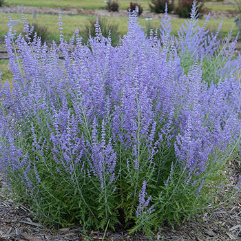 Blue Jeans Baby Russian Sage