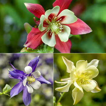 Kirigami™ Large Flowered Columbine Trio