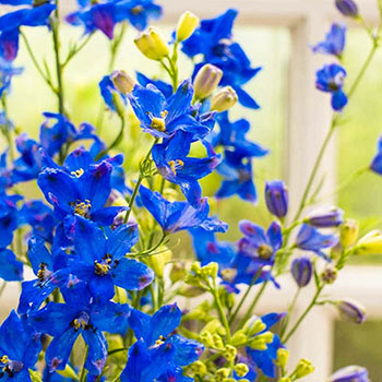 Diamonds Blue Delphinium