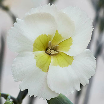 Key Lime Dianthus