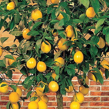Meyer Lemon Citrus Tree