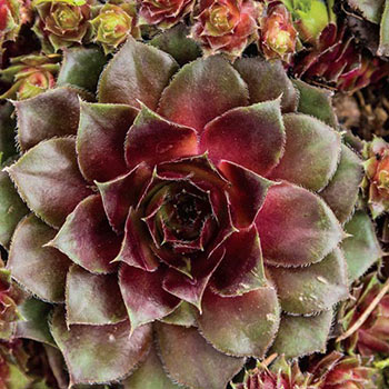 Red Rubin Hens And Chicks