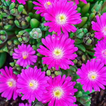 Jewel of Desert Opal Delosperma