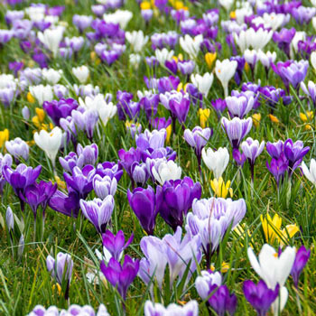 Botanical Crocus Mix