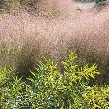 Undaunted Ruby Muhly Grass
