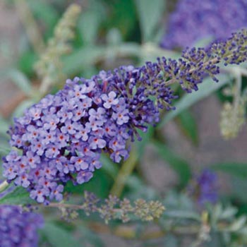 Sky Blue Buzz™ Buddleia