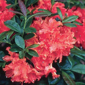 Mary Poppins Hardy Azalea