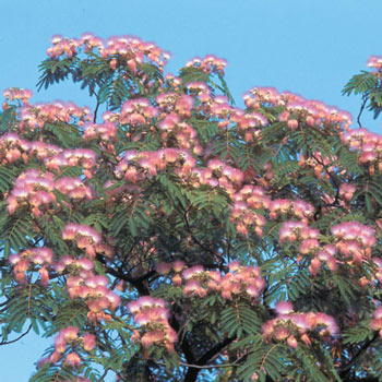 Cold Hardy Mimosa