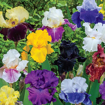 Breeder's Choice German Iris Mix