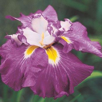 Shogun Japanese Iris