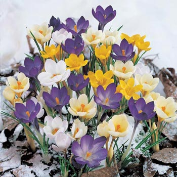 Snow Crocus Super Bag Mix
