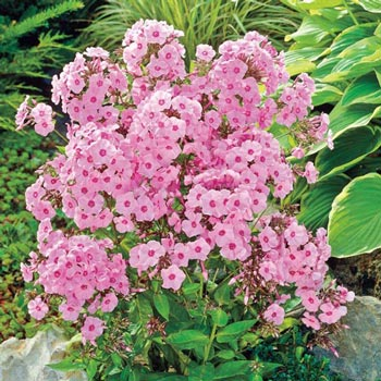 Flamingo Tall Phlox