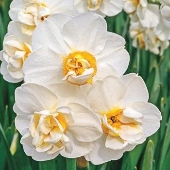 Fragrant Cheerfulness Daffodil