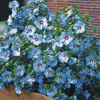 Blue Bird Rose of Sharon