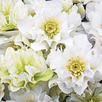 Wedding Bells Helleborus