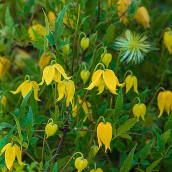 Golden Clematis