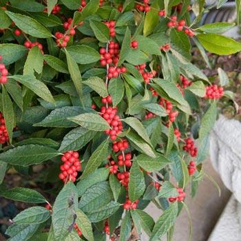 Winter Red Winterberry Pair