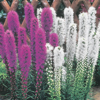 Mixed Liatris