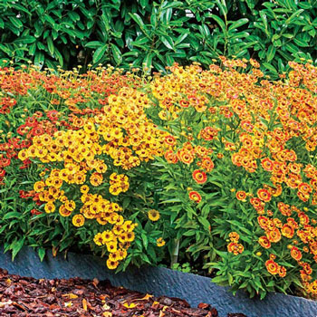 Fiesta Border Helenium Mix