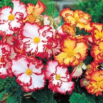Picotee Begonia Duet