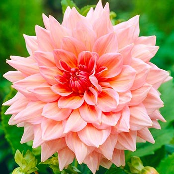 Giant Dinner Plate Dahlia Otto's Thrill
