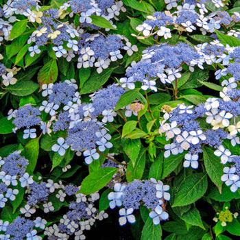 Blue Billow Hydrangea