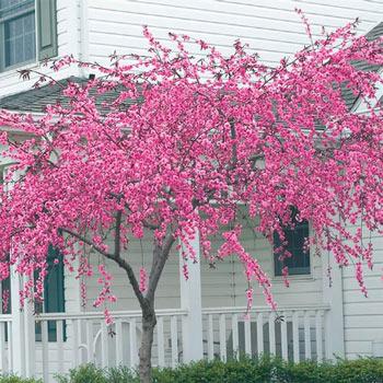 Pink Cascade Weeping Peach