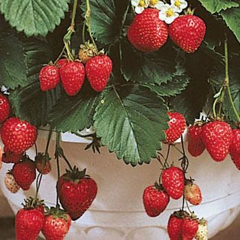 Patio Strawberry Kit