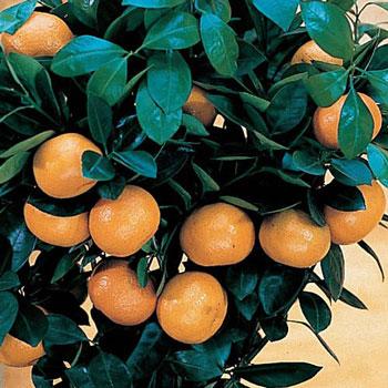 Orange Citrus Tree