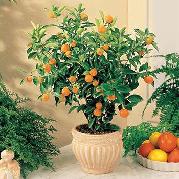 Tangerine Citrus Tree