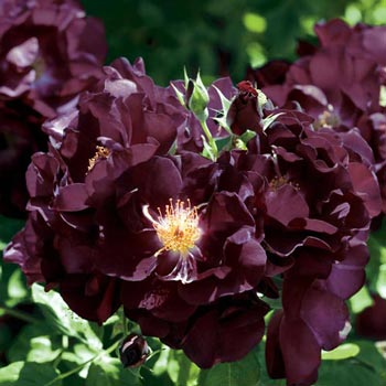 Night Owl™ Climbing Rose