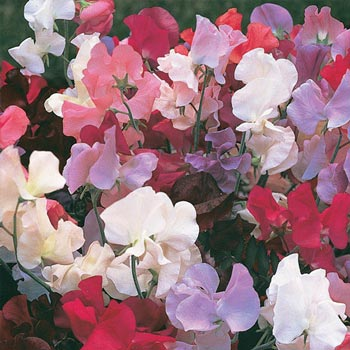 Everlasting Sweet Pea