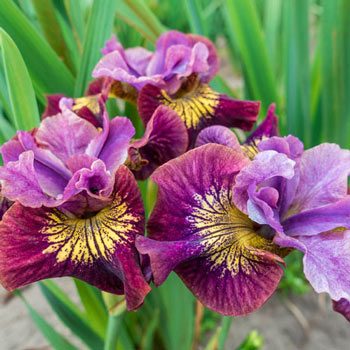Miss Apple Siberian Iris