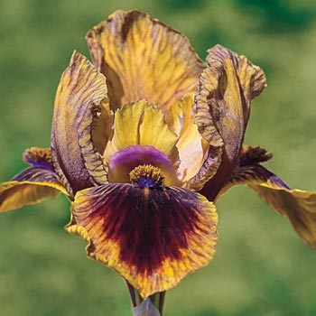 It's A Giggle Reblooming Iris