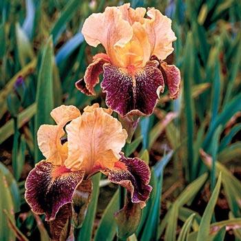 Delirium German Iris