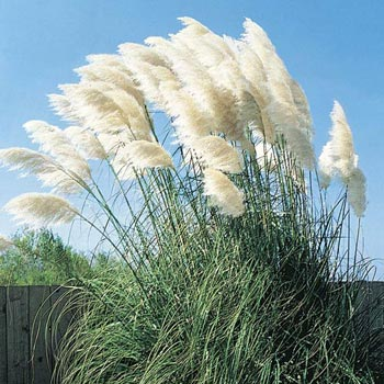 White pampas grass michigan bulb company for Tall grass with plumes