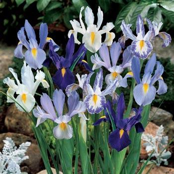 Delft Blue Dutch Iris Mix